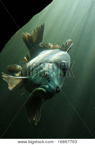 Underwater Photo Big Cyprinus Carpio in Bolevak Pond - famous anglig and diving place - Pilsen City Czech Republic Europe poster