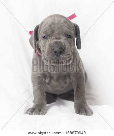 Purebred blue Great Dane puppy that is ready to rough around