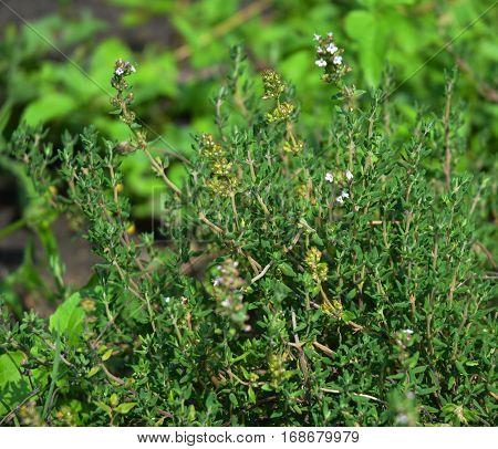 Fresh Thyme Herb grow outdoor. Thyme plant leaves Close-up. Fresh Organic flavoring Thyme plants growing. Nature healthy flavoring cooking. Ingredients for food