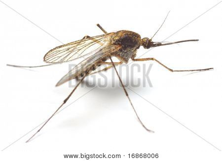 Anopheles mosquito - dangerous vehicle of infection - isolated on white background