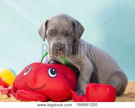 Purebred blue Great Dane puppy with a toy in the sand