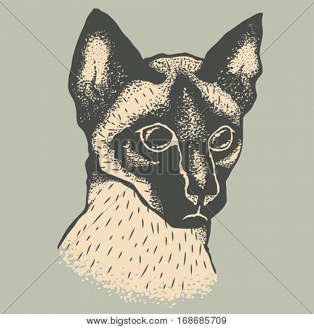 Siam cat vector illustration. Illustration of cute siamese cat