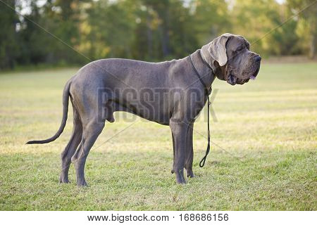 Great Dane purebred male on a grassy field