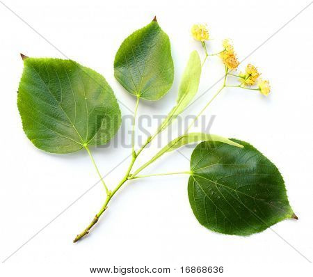 Small-leaved Linden- Tilia cordata - linden flowers are a traditional herbal remedy (linden flower tea), considered to be of value as an anti-inflammatory in a range of respiratory problems.