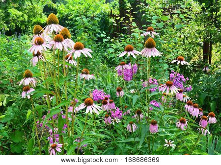 Coneflowers Flowerbed in the Garden. Echinacea purpurea and purple coneflowers flower bed with copy space. Echinacea Benefits and Uses.