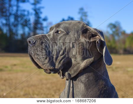 Blue Great Dane portrait with yellow field behind