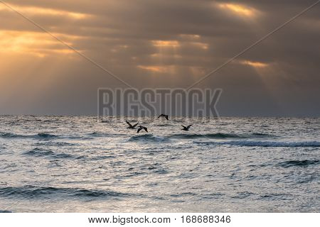 Group of Pelicans Glide Over Early Morning Surf along the Florida Gulf Coast