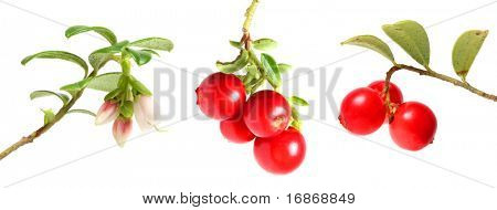 Cranberries collection on white background