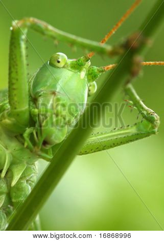 Jolly grasshopper - extremely close up