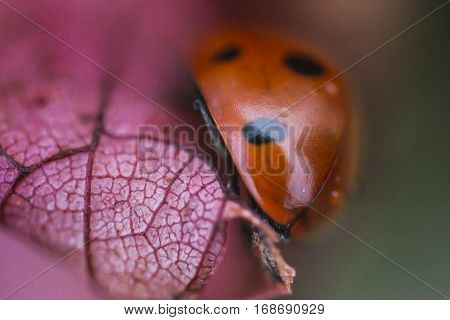 Seven spotted red ladybug (Coccinella septempunctata) in spring