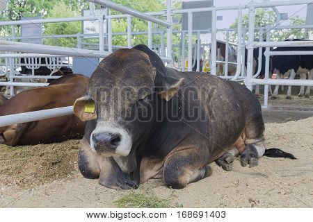 Cow sleeping in the stable on a farm. Agriculture