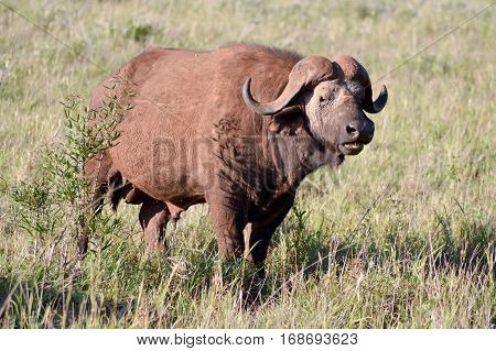 Isolated Buffalo in Tsavo West Park in Kenya