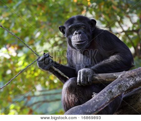 Portrait of a adult chimpanzee with pripmitive tool in Zoo Pilsen - Czech Republic - Europe poster