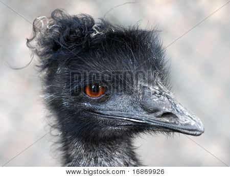 A very expressive emu portrait at the Zoo Pilsen - Czech Republic - Europe poster