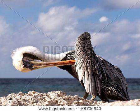 Pelican on rock shoal in Aruba. Preening under sunny skies of the Caribbean.