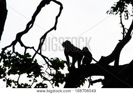 Silhouette photo of the monkeys into the Monkey Forest in Ubud, Bali, Indonesia.