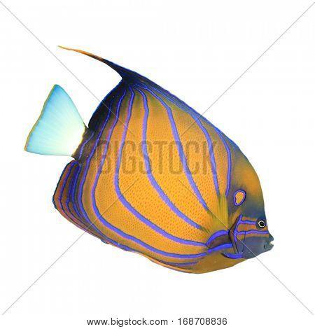 Tropical fish (Blue-ringed Angelfish) isolated on white background
