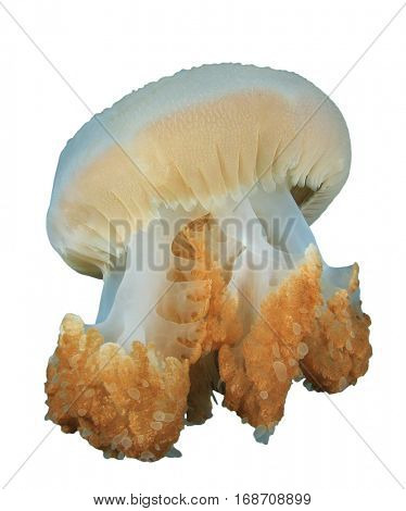 Jellyfish photo isolated. Jelly fish white background