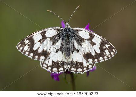 Marbled White (Melanargia galathea) butterfly resting on a flower