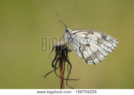 Marbled White (Melanargia galathea) butterfly resting on a withered plant