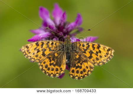 Weaver's Fritillary (Boloria dia) butterfly resting on a Flower