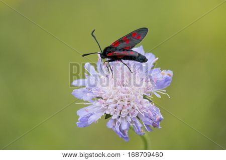 Six-spot Burnet (Zygaena filipendulae) moth extracting nectar from Field Scabious (Knautia arvensis)