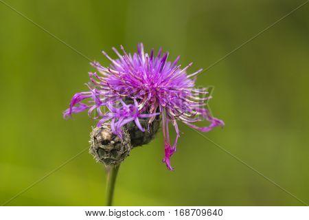 Greater Knapweed (Centaurea scabiosa) one Bud and one Flower