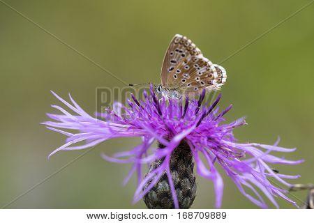 Chalkhill Blue (Polyommatus coridon) butterfly female extracting nectar from Greater Knapweed (Centaurea scabiosa)