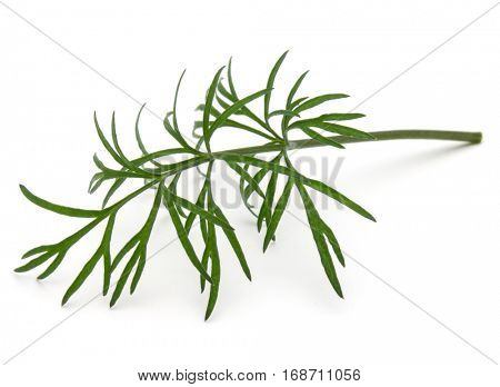 Close up shot of branch of fresh green dill herb leaves isolated on white background.