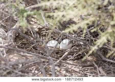 Two Penguin eggs in a nest - Puerto Madryn - Argentina - Patagonia