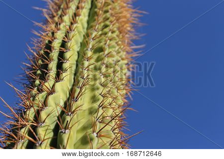 Horizontal photo of Spiny Tall Green Cactus against Bright Blue Sky