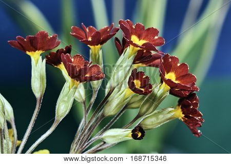Bunch of beautiful and colorful flowers cowslip