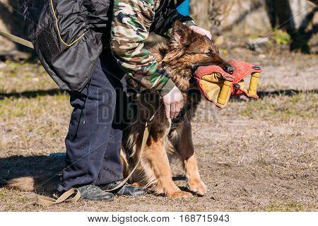 Gomel, Belarus - March 27, 2016: German shepherd dog training. Biting dog. Alsatian Wolf Dog. Deutscher dog
