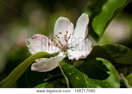 The Quince (cydonia Oblonga), Blooming