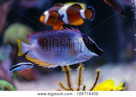 Tropical Fish in Coral reef aquarium tank