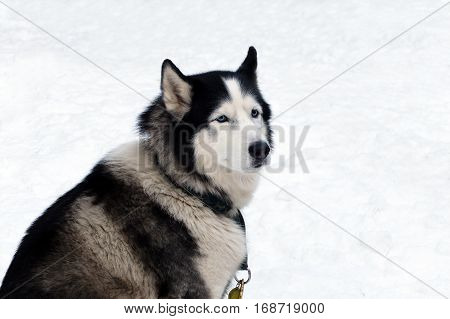 Grey husky with blue eyes. Siberian sled dogs Huskies driven sleigh people in the North. Animals active dog sports at work in the winter.