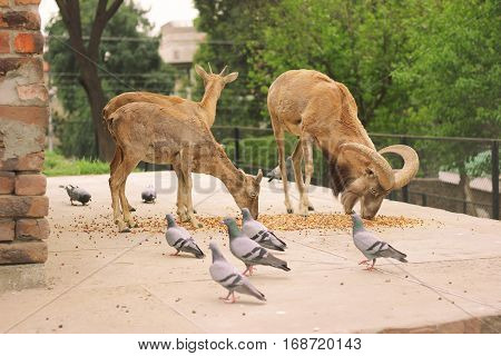 Three Alpine ibex eating food in Lahore zoo Pakistan