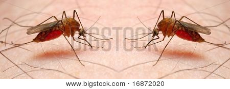 Dos chupando los mosquitos Anopheles - peligroso vehículo de infección