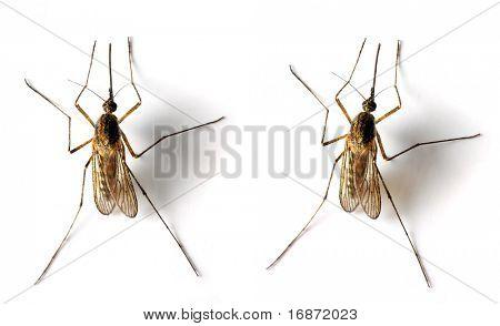 Mosquito Anopheles - peligroso vehículo de infección - aislado en fondo blanco