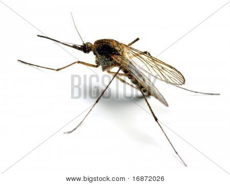 Anopheles mosquito - dangerous vehicle of infection - isolated on white background poster