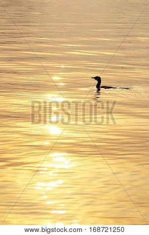 Duck in the water under the golden light of sunset