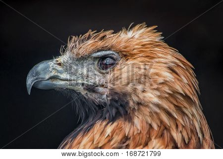 The steppe eagle. Predator. This photograph with the portrait of a Steppe eagle filmed at the Moscow Museum on Bolshaya Gruzinskaya street.