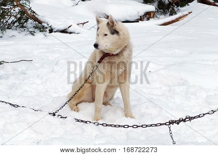 Husky red sled tied on a chain harness. Siberian dogs Huskies driven sleigh people in the North. Animals active dog sports at work in the winter.