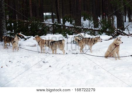 Group of Husky sled tied on a chain harness. Siberian dogs Huskies driven sleigh people in the North. Animals active dog sports at work in the winter.