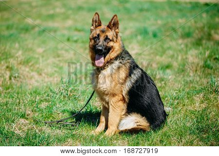 Beautiful Young Brown German Shepherd Dog Close Up. Alsatian Wolf Dog Or German Shepherd Dog On Green Grass Background. Deutscher Dog.