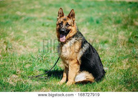 Beautiful Young Brown German Shepherd Dog Close Up. Alsatian Wolf Dog Or German Shepherd Dog On Green Grass Background. Deutscher Dog. poster