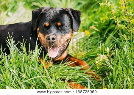 Funny Hapy Young Black Rottweiler Metzgerhund Puppy Dog Smiling In Green Grass In Summer Park Outdoor.