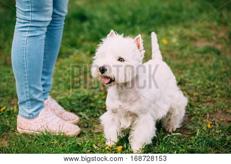 West Highland White Terrier Dog Sitting At Feet Of Owner In Green Summer Grass. West Highland White Terrier can vary greatly, with some being friendly towards children, whilst others prefer solitude.
