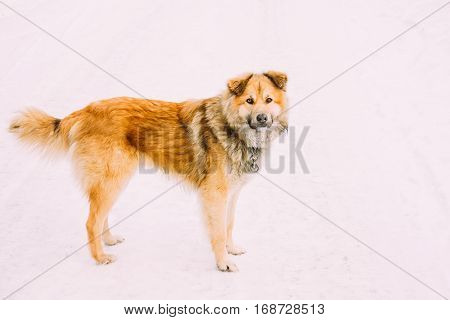 Mixed Breed Medium Size Red Dog Staying Outdoor In Snow. Winter Season.