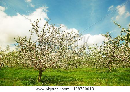 Blossoming apple orchard in spring